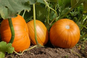 How to Grow Pumpkins at Home