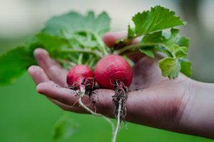 How to Grow Radishes at Home