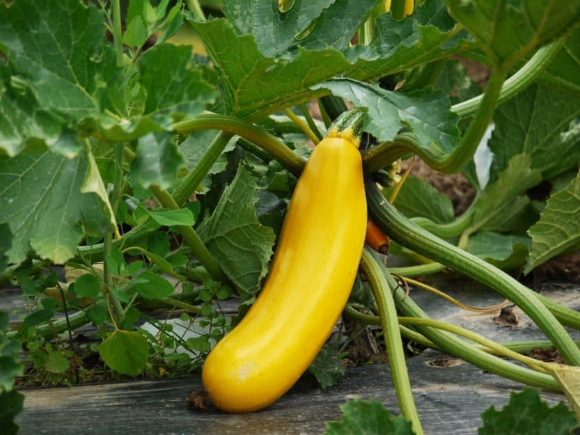 How to Grow Squash at Home