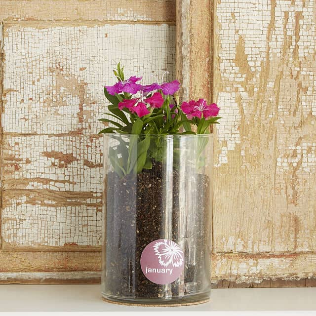 January Birth Month Flower Carnation Grow Kit