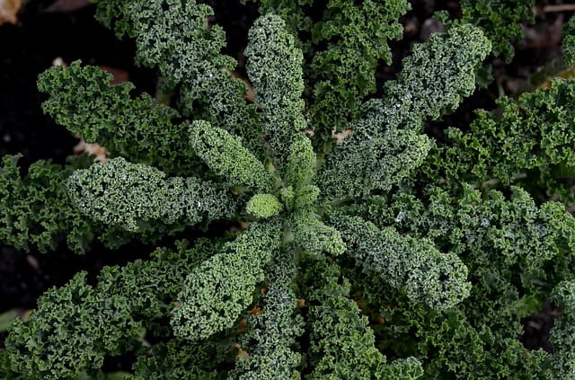Kale Care and Maintenance