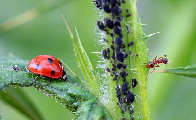 Lady Bug on Leaf w Aphids
