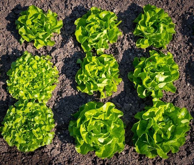 Lettuce Care