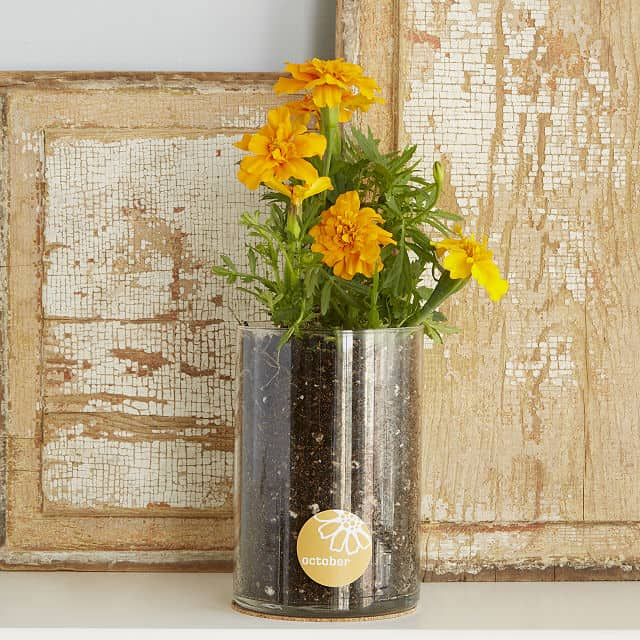 Marigold - October Birth Month Flower Grow Kit
