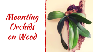 Mounting Phalaenopsis on Driftwood –  Mounting Orchids on Wood