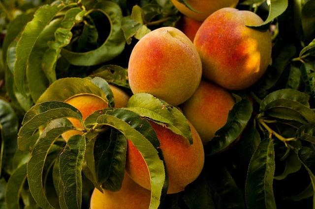 Peach Tree Care & Harvest