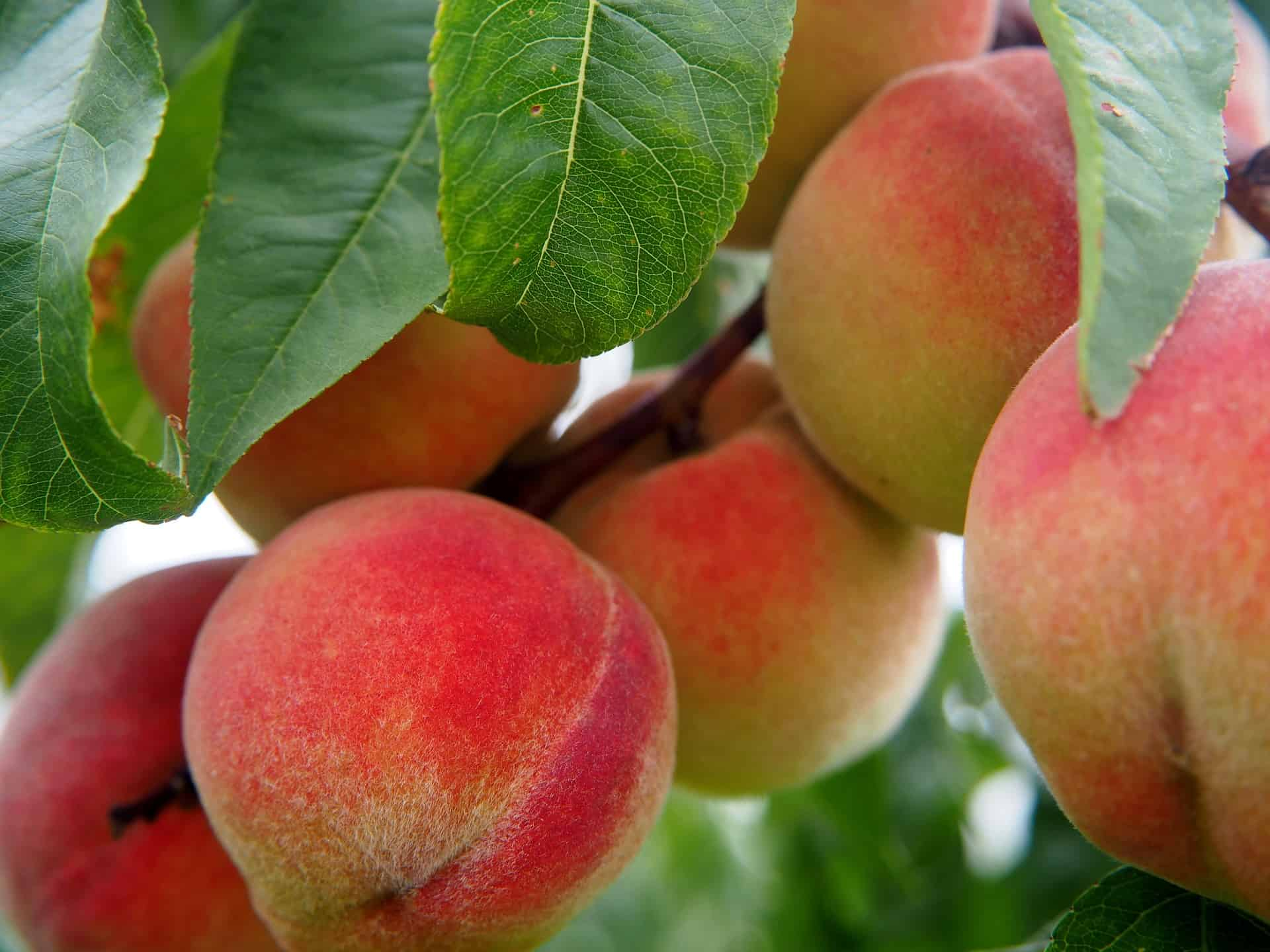 Peach Tree Varieties