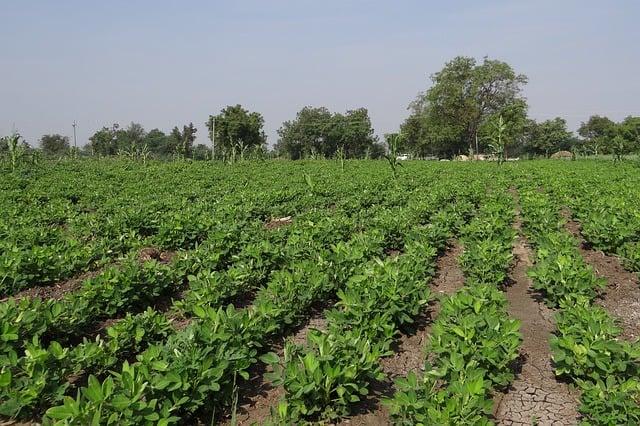 Peanut Care & Harvest