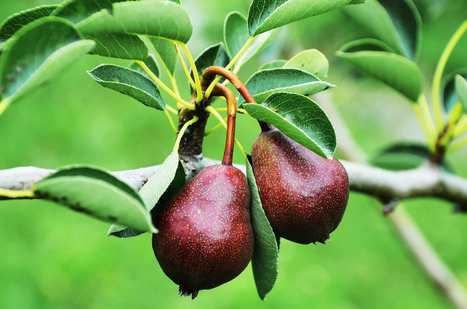 Pear Tree Varieties