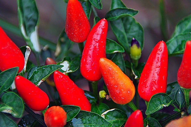 Pepper Plant Care