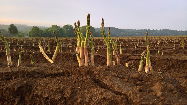 Asparagus Care in Spring
