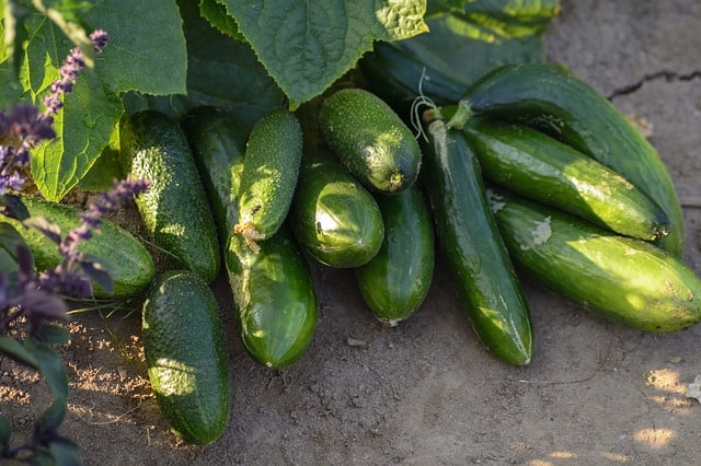 Planting Cucumbers in a Garden