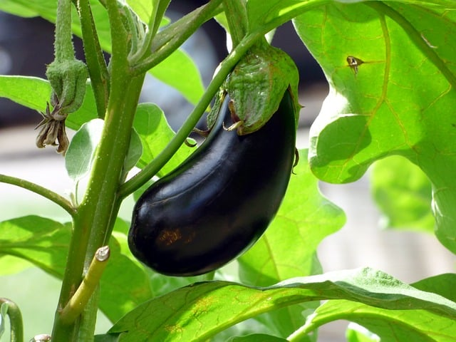 Planting Eggplants in a Garden