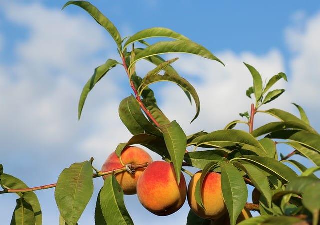 Planting Peach Trees