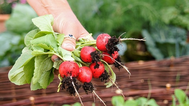Radish Care & Harvest