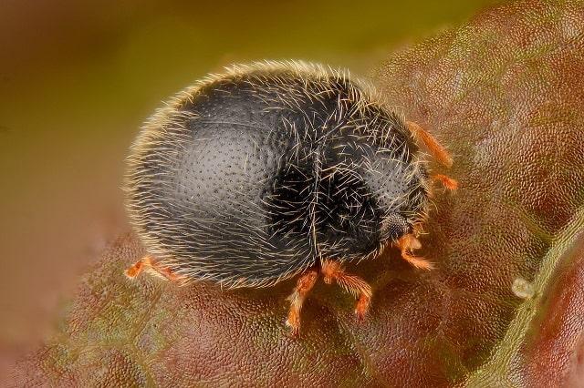 Stethorus pusillus - Spider Mite Destroyer
