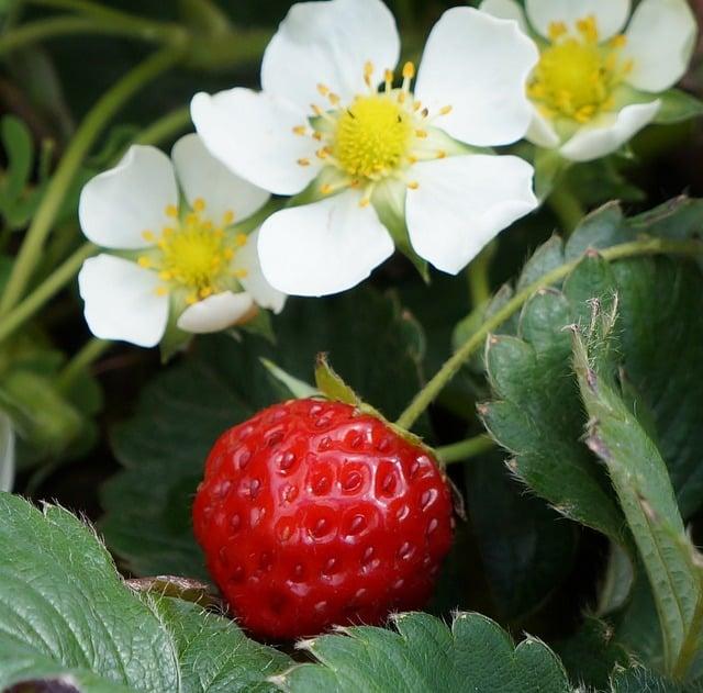 Strawberry Plant Care & Harvest