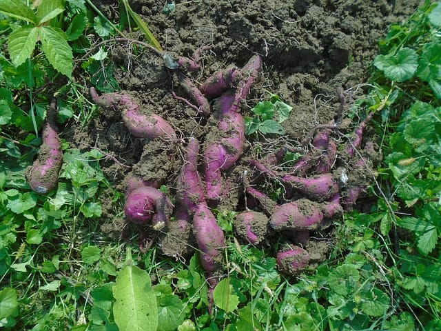 Sweet Potato Care & Harvest