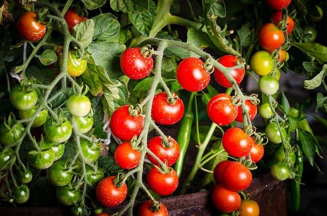 Tomato Plant Care Tips