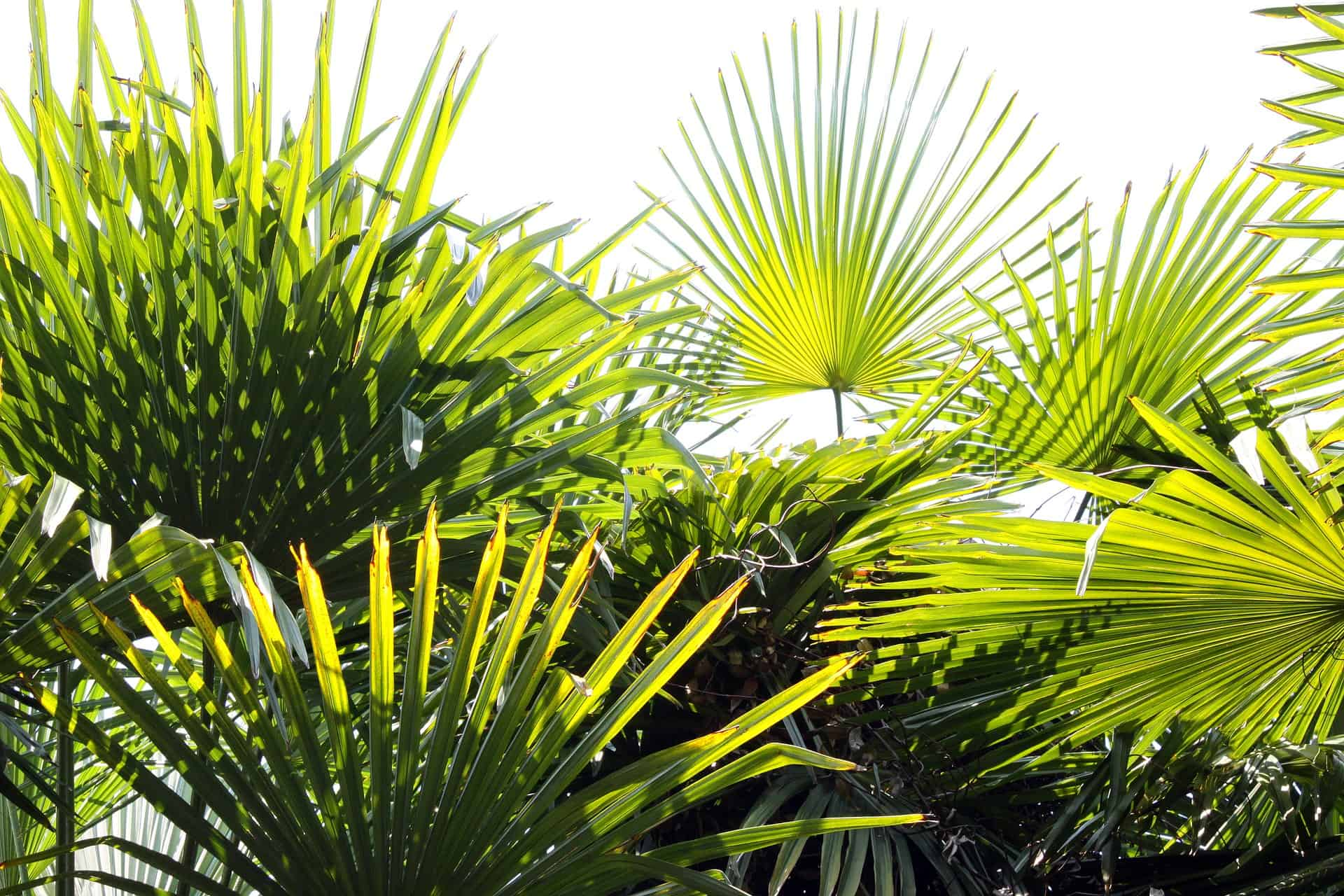 Types of Indoor Palm Plants