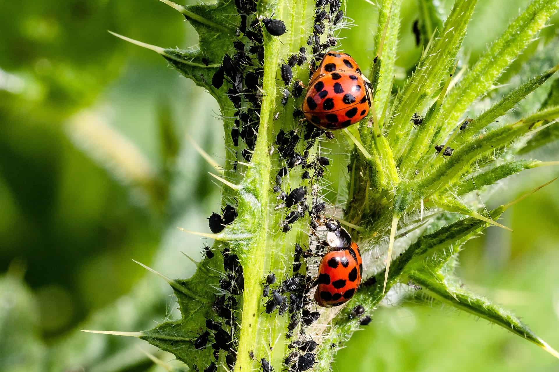 What Eats Aphids