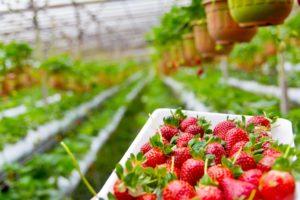 What Hydroponics Solution Works Best for Strawberries