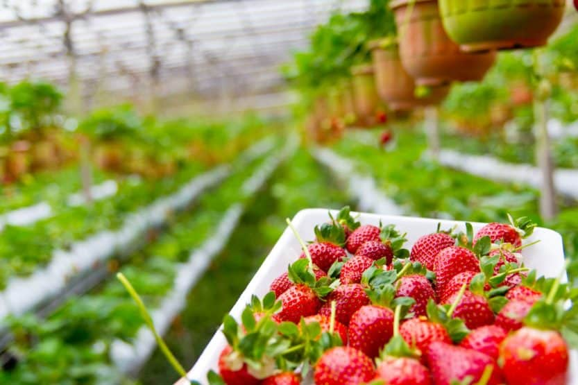 What Hydroponics Solution Works Best for Strawberries?