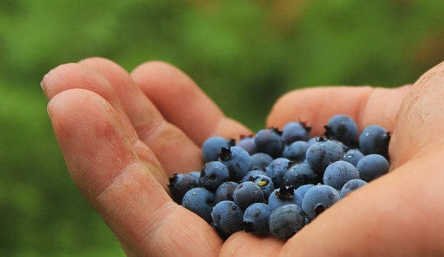When Do You Harvest Blueberries