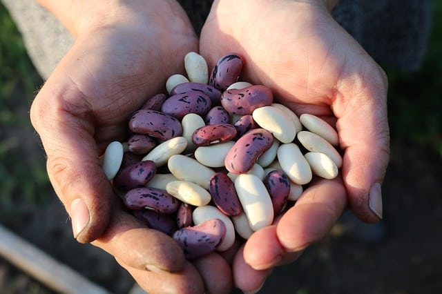 When to Harvest Dry Beans