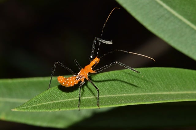 Assassin Bug Nymph on Lear