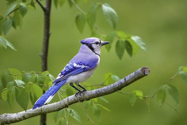 Blue Jay on Branch