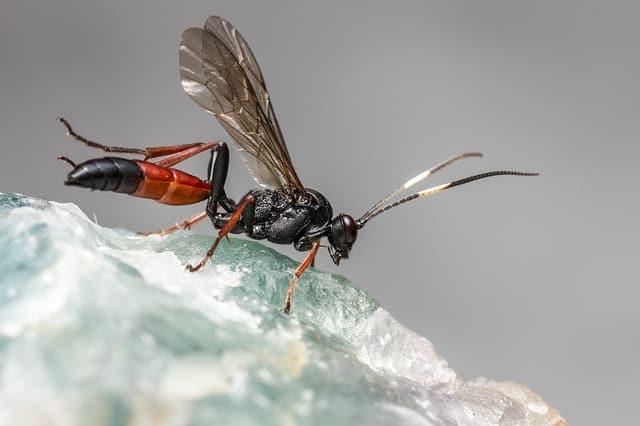 Ichneumon Wasp on Rock - What Eats Earwigs Parsitics Wasps