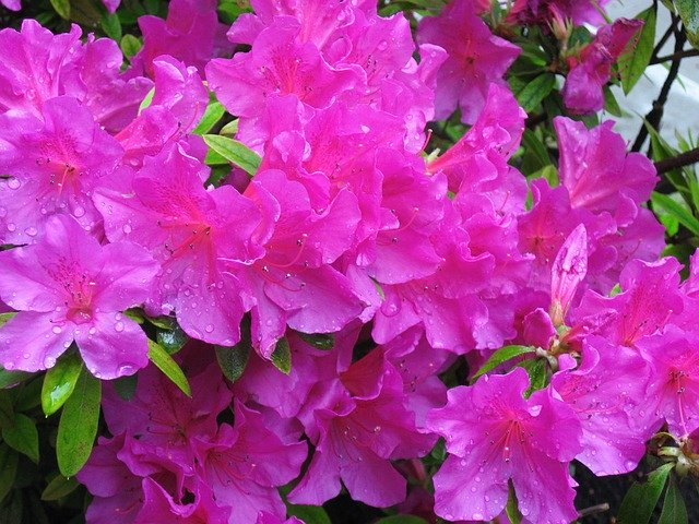 When To Fertilize Azaleas
