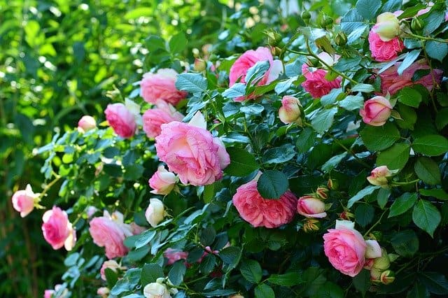 Can You Use Preen Around Roses