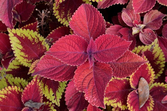 Will Coleus Come Back Every Year
